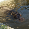 カバ。すいすい泳いでいるのがいい