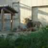 ライオン。めっちゃ凛々しい。