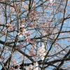 大体咲いていますね。1週間したら、綺麗だろうなぁ。