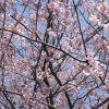 こっちは結構咲いてますね。この日は桜によってまちまちでした。