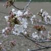桜を間近でみる。きれいだなー