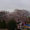 ココネリの隣の公園、桜🌸がきれいだった。
