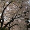 桜。浅草寺のところで撮ったけど、綺麗ですよね。